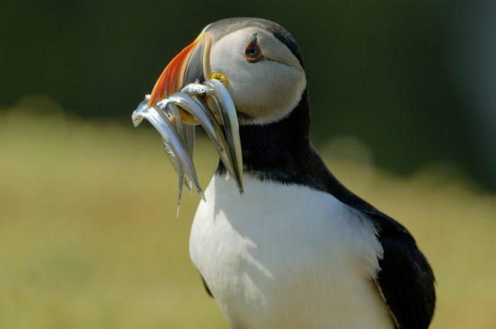 Птица Тупик на острове большой Солти Ирландия